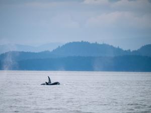 transient orcas off San Juan Islands